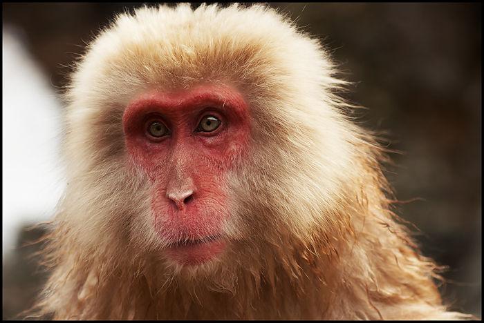 02-Snow-Monkey