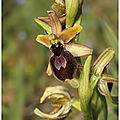 Ophrys occidentalis