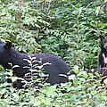 Un maman ours noir avec ses 2 petits