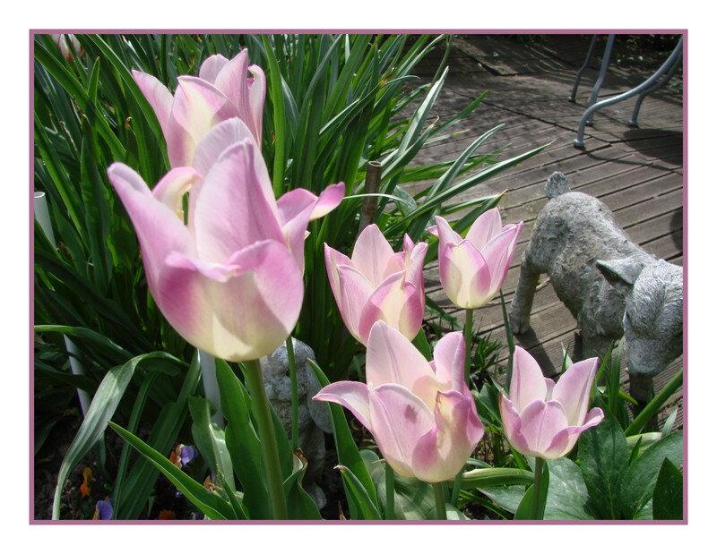 tulipes 10