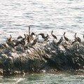 3 - de Tocopilla à Iqueque (07) pelicans