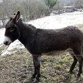 petit âne à Villeneuve-Lembron