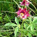 Potentilla palustris 16 08 10 (3)