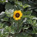 2009 07 10 Tournesol Prado Yellow en fleur