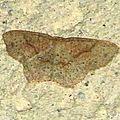 Cyclophora porata(Phalène ocellée, Ephyre trouée)