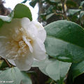 Camellia X Willamsii 'Donation'