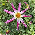 Dahlia-Honka-Rose