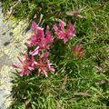 fleurs rouges de montagne