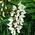Acacia 05051610