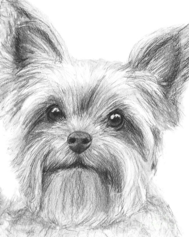 nycyorkshire-terrier-drawing-by-kate-sumners-yorkshire-terrier-drawings-drawings-drawing