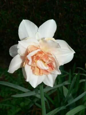 Narcisse double blanche et saumon