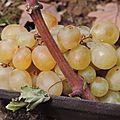 La beauté d'une grappe de raisin