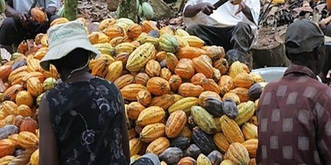 """La chute des cours du cacao est une potentielle """"bombe sociale"""" en côte d'ivoire"""