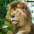 lion blanc beauval