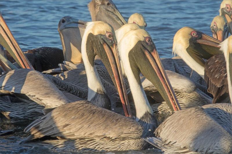 J10 Ensenada lodge 101219 300 ym 6 oiseaux pélicans