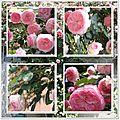 page roses pierre de ronsard