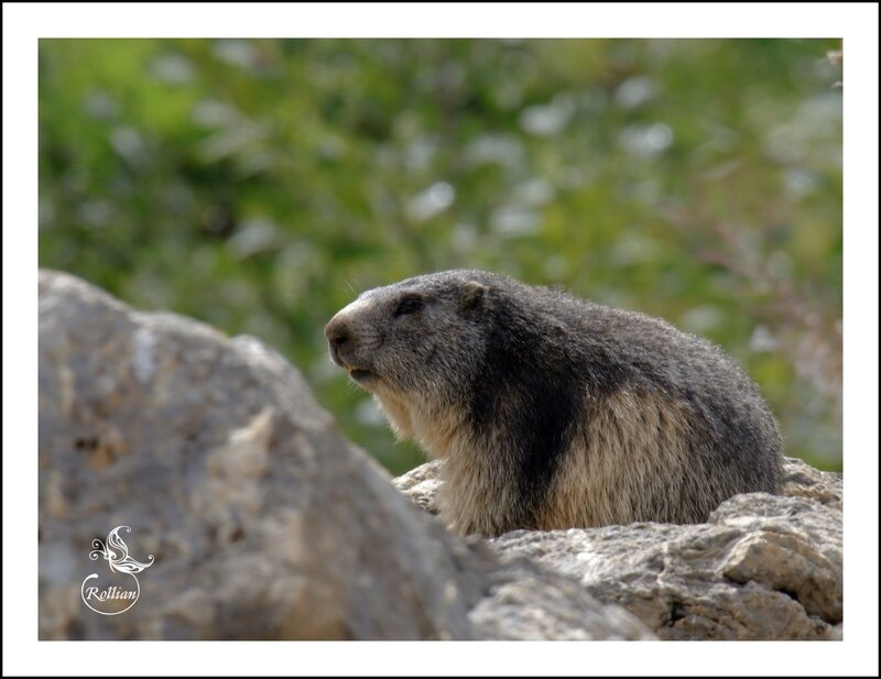 Famille marmotte 12
