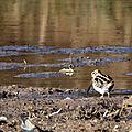 Bécassine des marais (4)