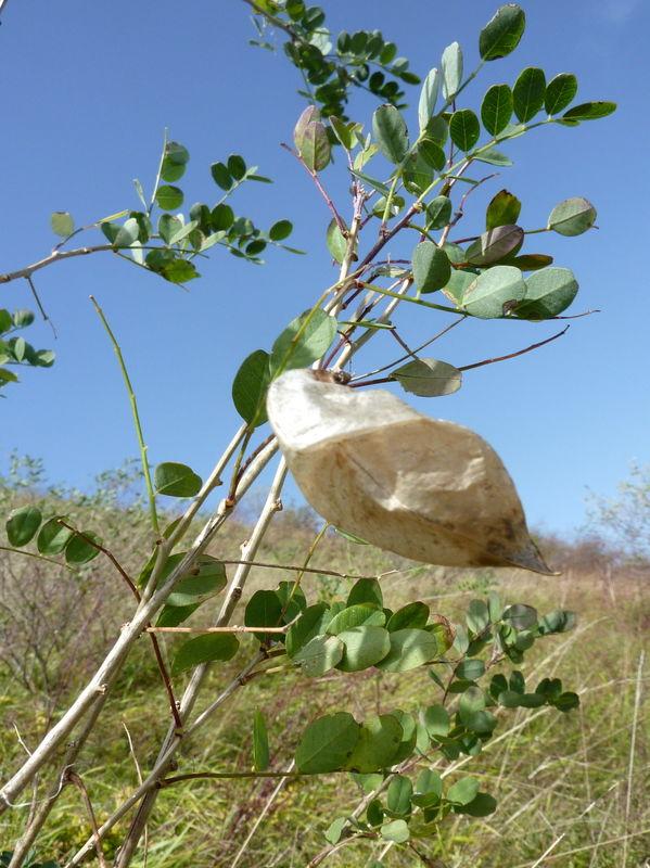 baguenaudier ou arbre à vessies
