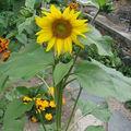 2008 08 19 Un tournesol d'Espagne (à multi-fleurs)