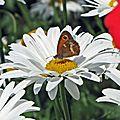 papillon-sur-marguerite