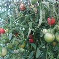 2008 09 01 Mes tomates coeur de Boeuf sous serre