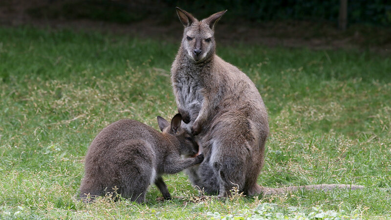 WALLABY - Macropus