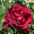 Roseraie Haÿ- les- Roses (53)