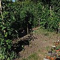 Au jardin potager : les tomates