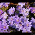 Florilège printanier : hepatica triloba (hépatique trilobée)...une plante protégée en franche-comté