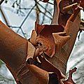 Ecorce Erable cannelle • Acer griseum • Famille des Sapindaceae