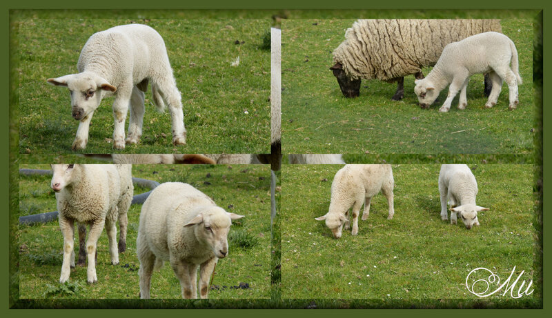 moutons 07042020