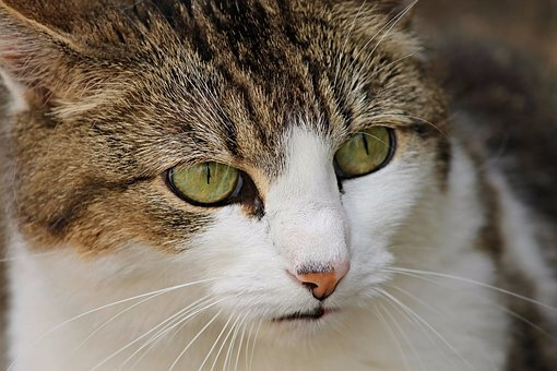 chat yeux