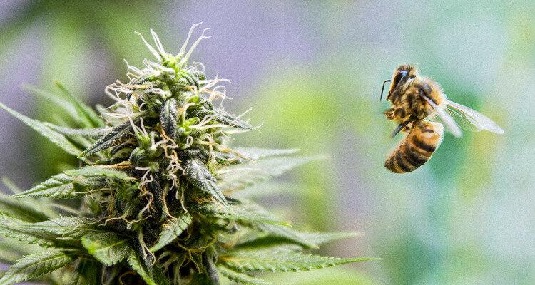 Le cannabis pour stopper la disparition des abeilles : Les abeilles adorent le cannabis ...