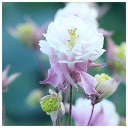 aquilegia-winky-double-rose-white-