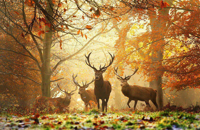 cerf foret automne6_5460460_n