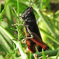 Acrididae omocestus rufipes ?