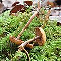 Galerina marginata (3)