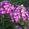 2009 07 29 Fleurs de phlox