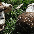 Amanita pantherina (1)