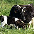 bretonne pie noir 22