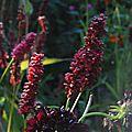Persicaria amplexicaulis 'blackfield', scabiosa atropurpurea 'black knight