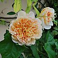 Fleur au jardin 21 06 2012 116