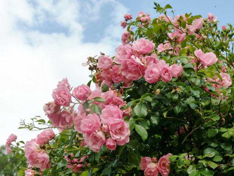 rosier mareva (3)
