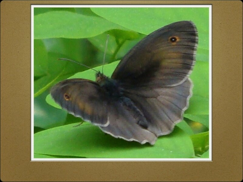 papillons et orchidées