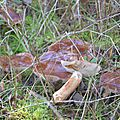 Tricholoma batschii (3)