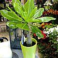Brighamia (Palmier de Hawaii)
