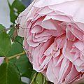 Il a un peu plu... mais les roses sont jolies.