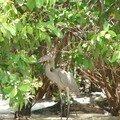 un oiseau de la mangrove dont je ne me rappelle plus le nom!!!!