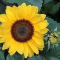 2008 09 16 Une fleur de tournesol